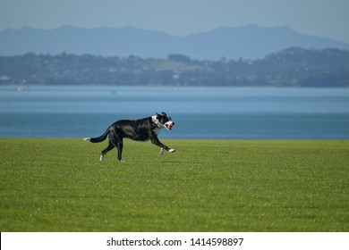 Happy dog running on field with blue sea and island in background