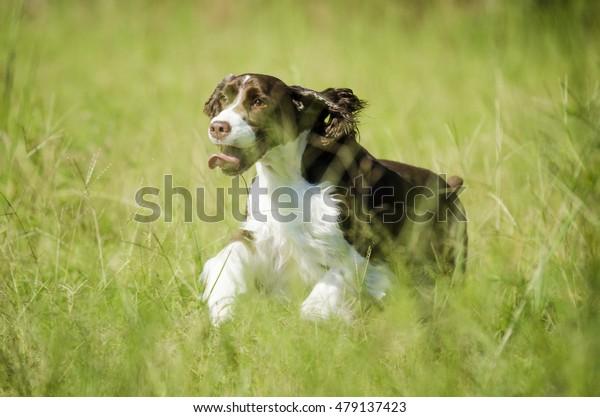 Happy dog running outside