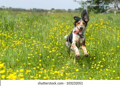 Happy dog running through a meadow with buttercups