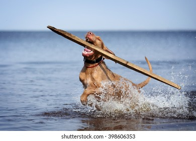 Happy dog running in the water, holding stick in his mouth