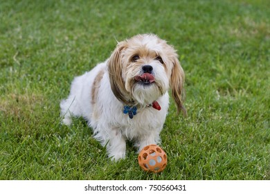 happy Dog stick out tongue at play with ball