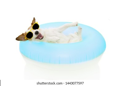 HAPPY DOG SUMMER GOING ON VACATIONS. JACK RUSSELL INSIDE A INFLATABLE OR BLUE FLOAT POOL WEARING SUNGLASSES. ISOLATED AGAINST WHITE BACKGROUND.