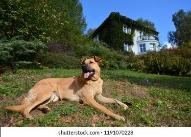 Happy dog sunbathing near house