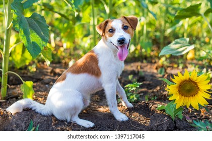 Sunflower Dog Stock Photos, Images & Photography | Shutterstock