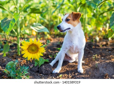 Sunflower Field Dog Images, Stock Photos & Vectors