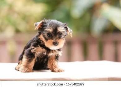 Happy dog together,Little Cute Yorkshire terrier puppy stand on the table in tree background. Yorkie teacup sit on the table,adorable dog, funny dog portrait in the garden
