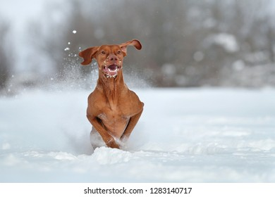 Happy Dog Vizsla running in the snow
