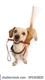 Happy dog wagging tail with leash in mouth in anticipation of a walk