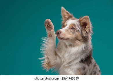 happy dog waves paw. Border Collie on a blue background. Pet in the studio