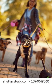 Happy dogs walking outdoors and enjoying with dog walker