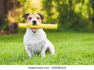 Happy domestic adult dog playing with toy stick like puppy at summer backyard lawn