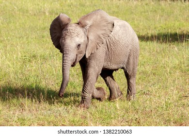 happy elephant baby walking in the savanna