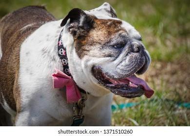 happy english bulldog