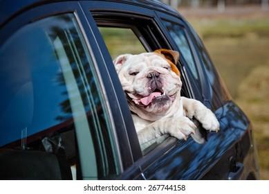 happy english bulldog in a car