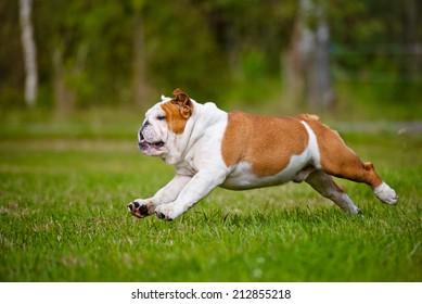 happy english bulldog running outside