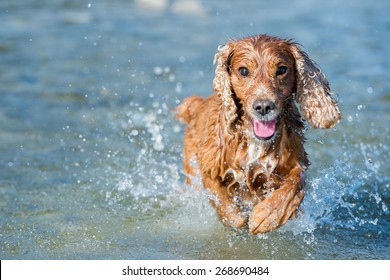 Happy english cocker spaniel while playing in the river