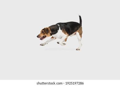 Happy Estonian Hound dog posing isolated over white background.