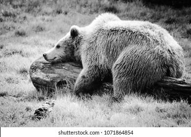 Happy European Brown Bear lying in the sunshine on a log