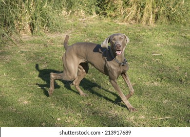 A happy excited dog, running and looking at the camera, purebred hunting female Weimaraner, also known as silvery, gray or silver ghost.