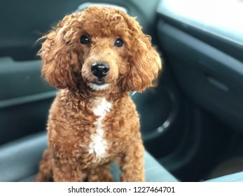 Happy face red toy poodle is sitting inside the car looking at the driver