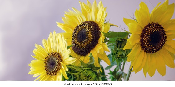 happy faces of bright colored sunflowers panorama