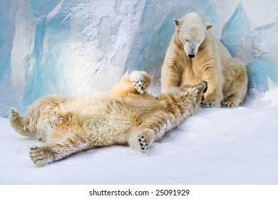Happy family of polar bears in the zoo