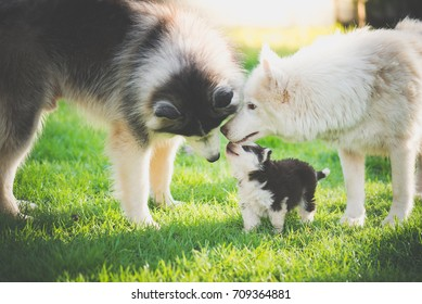Happy family of siberian husky dog playing on green grass under sun light