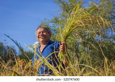 Happy farmer on his farm. Happy smiling Asian farmer standing proud in front of his wheat field. Smile Farmers harvest rice.it's harvest time