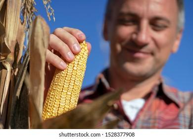 Happy Farmer with Ripe Corncob on Corn Field. Yellow, Ripe Corncob in Farmer's Hand, Close up Shot. Harvest Time.