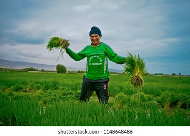 Happy farmer shows rice plantations, March 2016 Arequipa, Peru