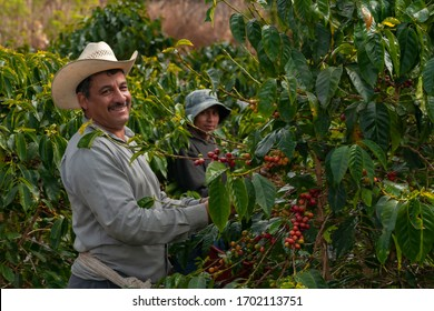 Happy farmers collecting Arabica coffee beans on the coffee tree.