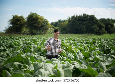 Happy Farmers using digital tablet in the cultivation of tobacco. modern technology application in agricultural growing activity.