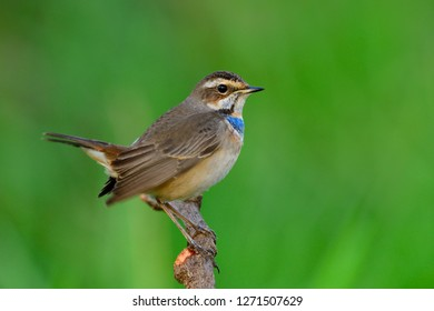 Happy fat brown bird with orange and bright blue marking on its chest perching on wood stick doing tail wagging, Bluethroat (Luscinia svecica)