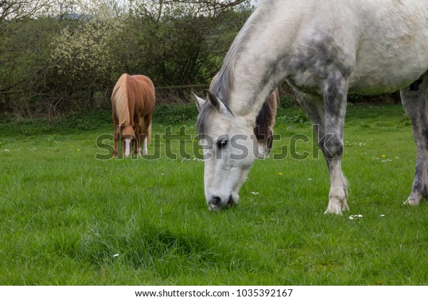 Happy fat horses grazing on the spring grass in rural shropshire.