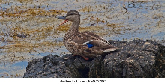Happy female mallard duck sitting on a rock at the ocean with a seaweed background