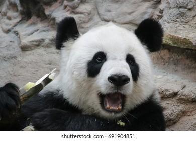 Happy Female panda is eating bamboo shoot, Chiangmai, Thailand
