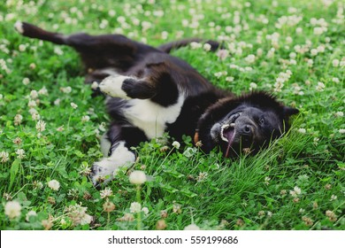 happy fluffy  black dog lying and rolls on the grass in clover