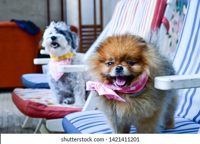Happy fluffy  fashion  dogs  with fancy bandanas sitting at colorful chairs ready for summer party