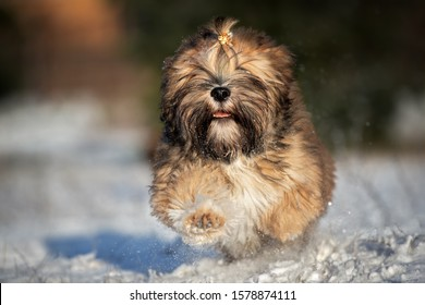 happy fluffy lhasa apso puppy running in winter
