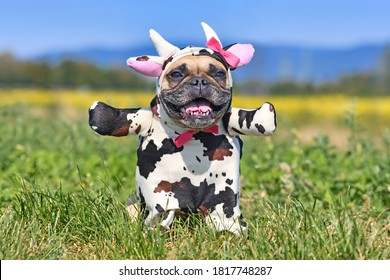 Happy French Bulldog dog wearing a funny full body Halloween cow costume with fake arms, horns, ears and ribbon
