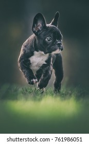 Happy French bulldog puppy running on a grass field with paws in the air. Sweden during autumn