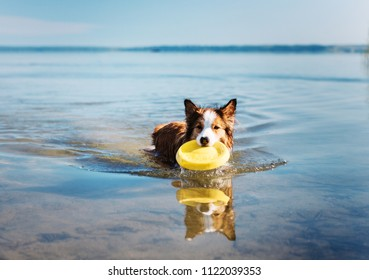 A happy and fun dog collie collie plays in the water with a disc.