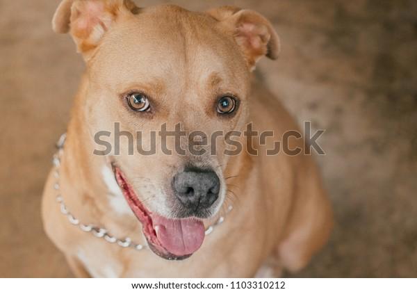 A happy fun loving Pitador (Pitbull labrador mix) dog posing on porch for the camera.