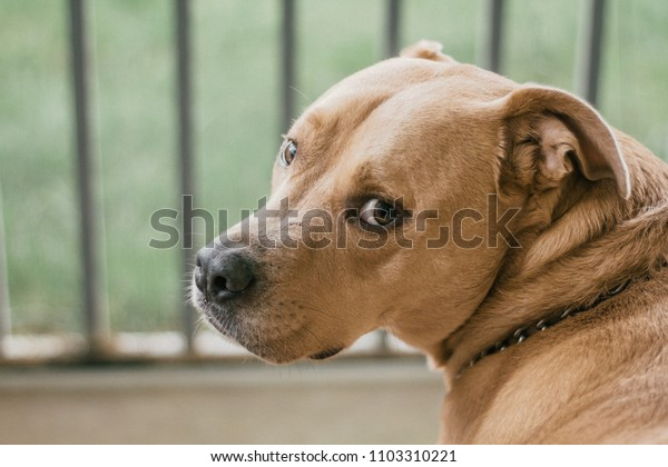 A happy fun loving Pitador (Pitbull labrador mix) dog posing on porch for the camera.