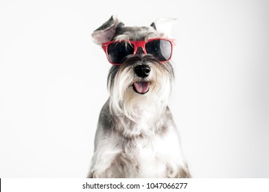 Happy, funny, cool dog schnauzer with red sunglasses isolated on white background.