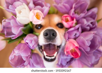 Happy funny corgi dog with open mouth peeks out in tulips. spring flower background
