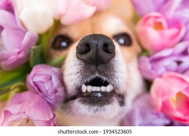 Happy funny corgi dog with wet nosw peeks out in tulips. spring flower pink and purple background. close up
