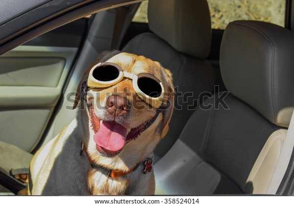 A happy funny dog pilot (yellow Labrador (lab) retriever) in car (Subaru) driver's seat wearing sunglasses (glasses) (doggles) (goggles) (shades) and a big smile with tongue wagging.
