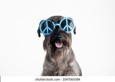 Happy, funny dog schnauzer with blue sunglasses, isolated on white background.
