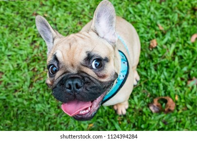 Happy, funny, mischievous, expressive faces of French Bulldog (Frenchie) at a park